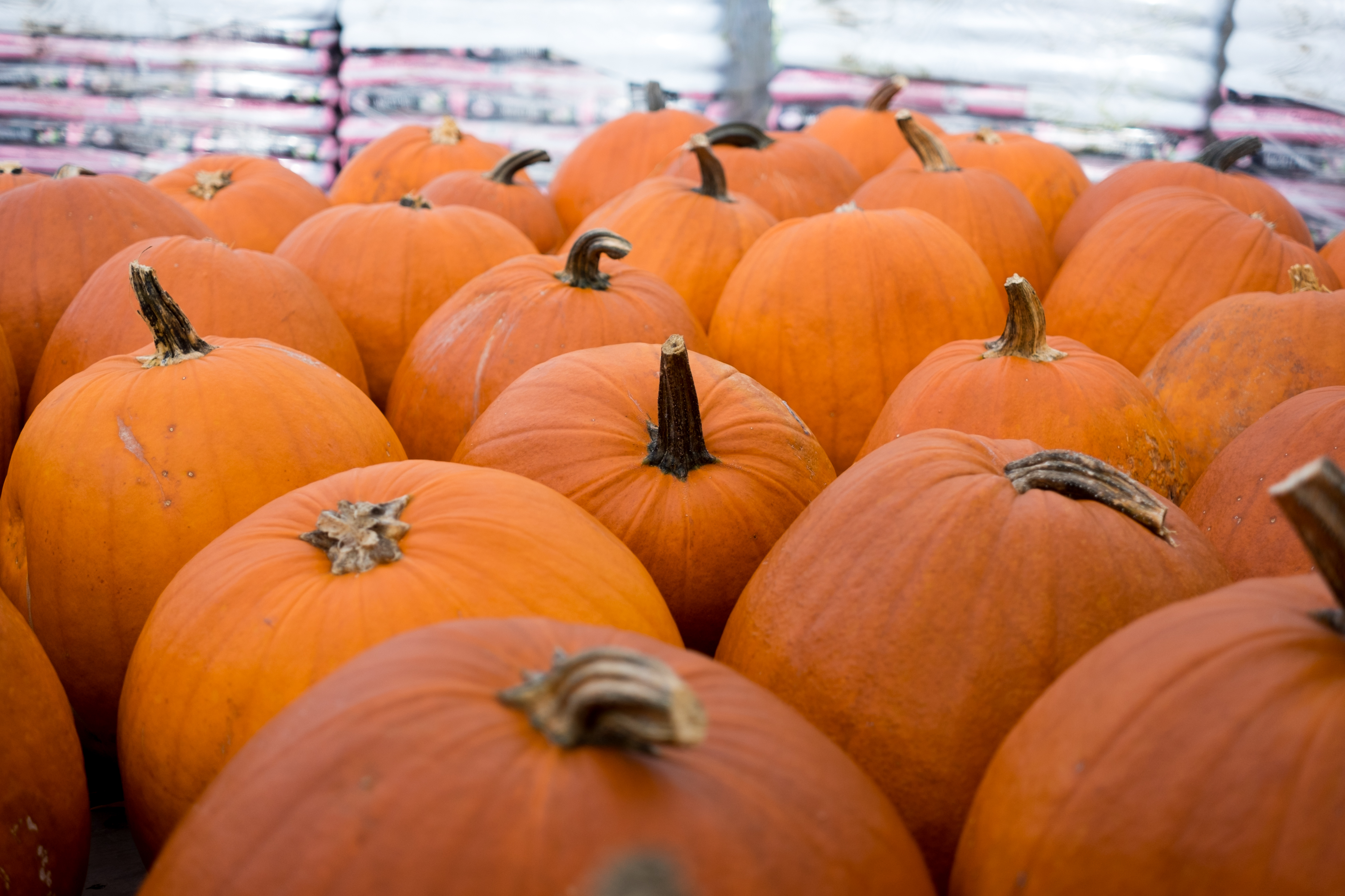 Each of these pumpkins could represent a house with allergen-filled candy. Photo by Marie-Pierre Savard.